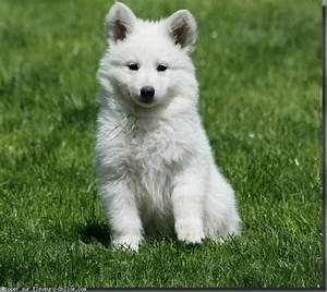 Bébé Loup Blanc : berger blanc suisse trop chou recherche google we heart it ~ Farleysfitness.com Idées de Décoration