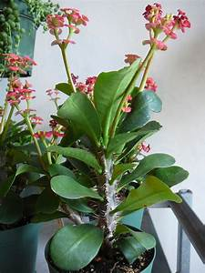 Crown of Thorns – Euphorbia Milii | The Palm Room