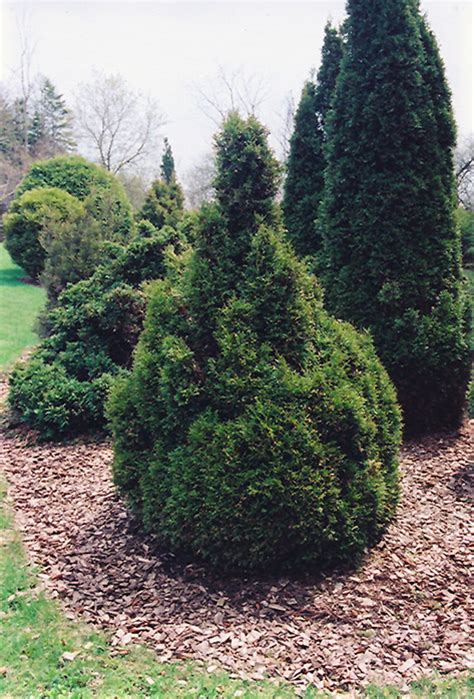 thuja occidentalis brabant brabant arborvitae thuja occidentalis brabant in des plaines mount prospect elk grove
