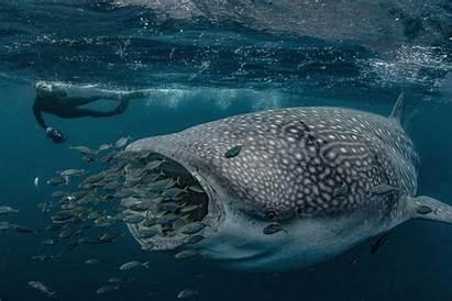 Whale Shark Geographic National Australia Wildlife Exmouth