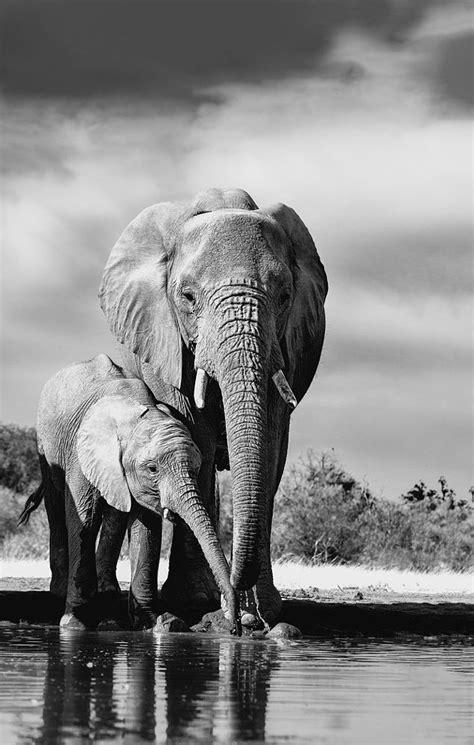 elephants mom baby animal black white elephants