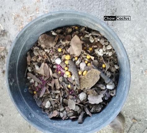 การเพาะเมล็ดมะพร้าวทะเลทรายฮอวูด ( Dorstenia horwoodii ...