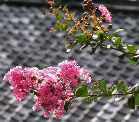 flowering trees northeast popular trees found in gardens across the northeast landscaping design on the main line
