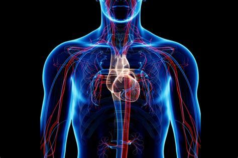 Major Organs Of The Circulatory System