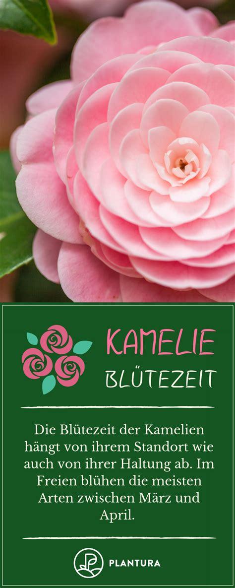 Blattkaktus Beste Pflege Fuer Eine Schoene Bluete by Kamelie Tipps Zum Pflanzen Pflegen 220 Berwintern