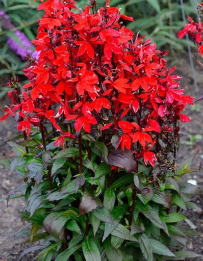 meyer lemon starship scarlet cardinal flower lobelia x speciosa