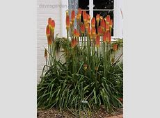 PlantFiles Pictures Red Hot Poker, Torch Lily, Tritoma