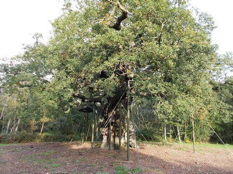 of tree major oak wikipedia
