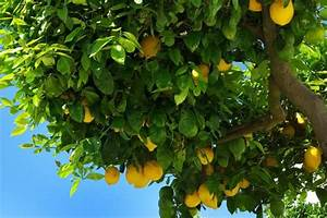 What Plants Can Be Used As A Companion For A Lemon Tree