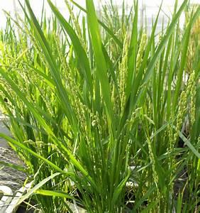 Rice Genetic Transformation  U2022 Plant Transformation
