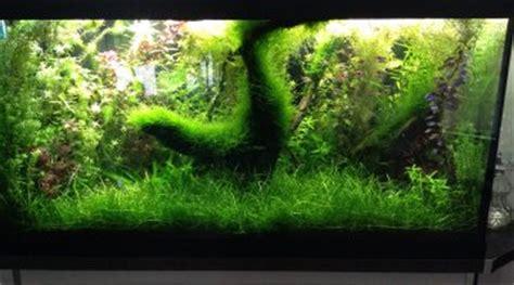 traitement algues brunes aquarium t 226 che blanche sur la bouche n 233 on bleu