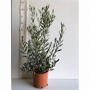 Pianta Olea Eurpoea Cipressino In Vaso 20cm