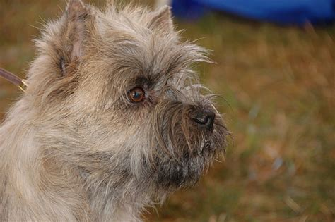 How Much Do  Ee  Cairn Ee    Ee  Terriers Ee   Cost Howmuchisit Org