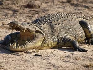 Crocodile Wallpapers | Desktop Wallpapers