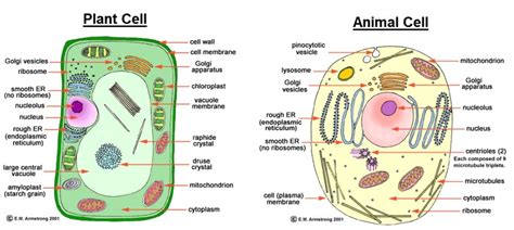 draw  diagrams  plant cell  animal cell label