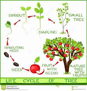 Life Cycle Of Apple Tree Stock Vector  Illustration Of