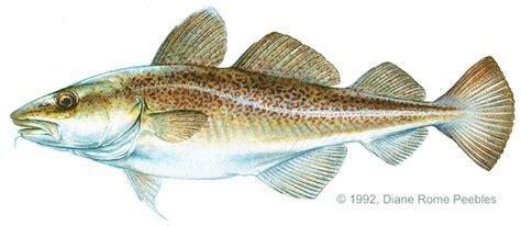 Cod Atlantic Gadus morhua | Fish, Xiphias gladius, Grouper