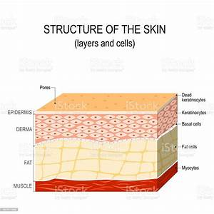 Structure Of The Human Skin Stock Illustration - Download Image Now