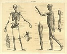 Best Anatomy Illustrations, Royalty-Free Vector Graphics ...