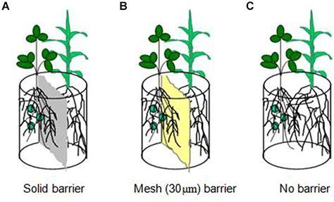 frontiers arbuscular mycorrhizal fungi  rhizobium