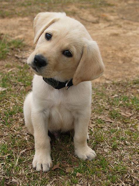 best ideas about labradors on 25 best ideas about lab puppies on yellow lab