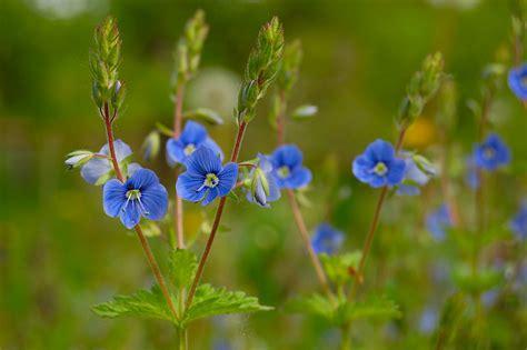 Bowland blog: floare albastra