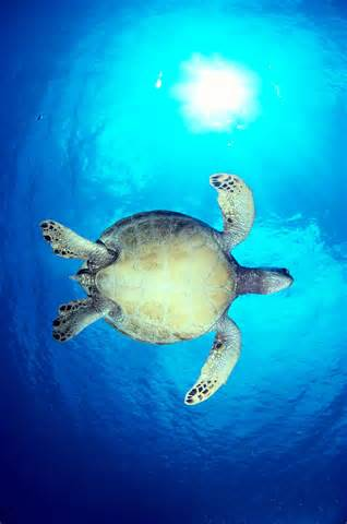 Hawaiian Green Sea Turtles Clip Art