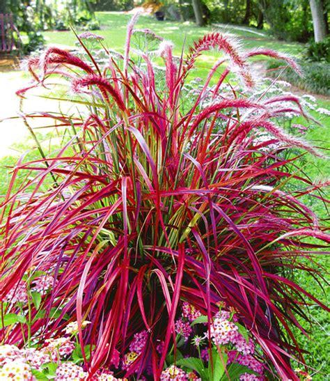 rotes gras winterhart pennisetum fireworks 1a pflanzen baldur garten