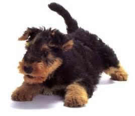 airedale puppy too cute if i ever have another dog