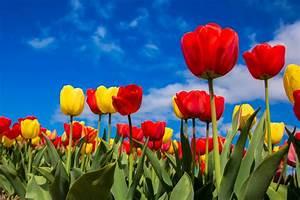 Tulpen Im Garten : pflegetipps f r tulpen auf dr ~ A.2002-acura-tl-radio.info Haus und Dekorationen