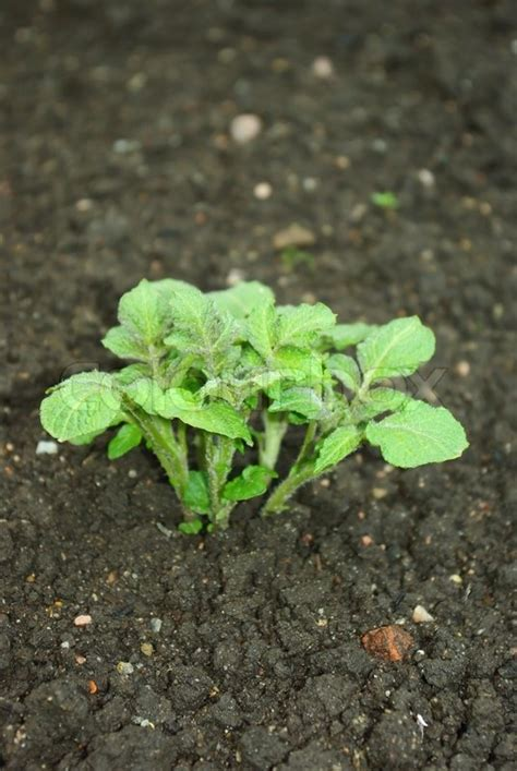 young potato plant growing   vegetable bed stock