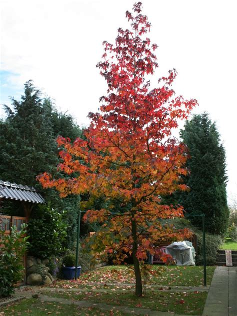 Garten Kaufen Mühlacker by Amberbaum Oktoberglut Liquidambar Styraciflua