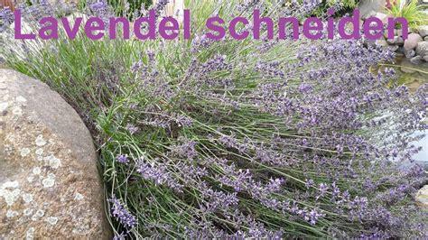 wie lavendel schneiden lavendel richtig zur 252 ckschneiden lavendel schneiden