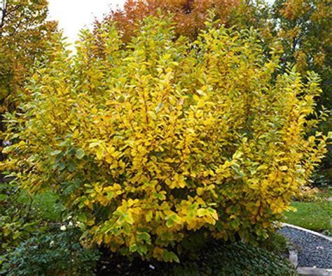 witch hazel shrub varieties witch hazel