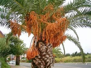 Phoenix Canariensis Entretien : phoenix canariensis planter et cultiver ooreka ~ Melissatoandfro.com Idées de Décoration