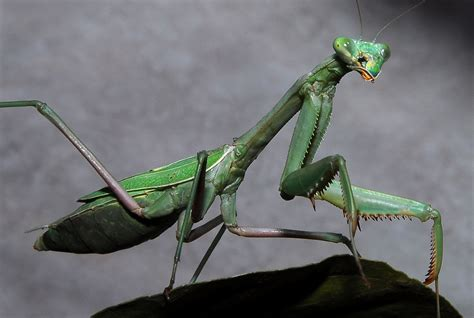 Praying Mantis  A Message From One Of Our Spirit Animals