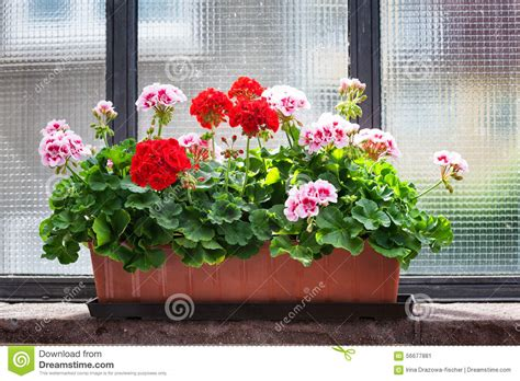 Flowers For Windowsill by Geranium On Window Sill Stock Image Image Of Flower