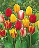 Darwin Hybrid Mix, Tulip Bulbs - Urban Farmer Seeds