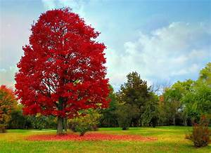 Roter Ahorn Baum : panoramio photo of red maple rot ahorn ~ Michelbontemps.com Haus und Dekorationen