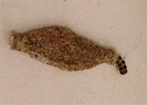 pantry moth larvae pantry moth eggs