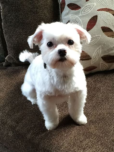 maltipoo hairstyles hairstylo