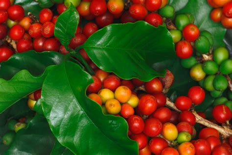 Free coffee vector download in ai, svg, eps and cdr. Coffee Harvest Stock Photo - Download Image Now - iStock
