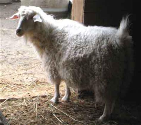 pygora goat characteristics breed information modern
