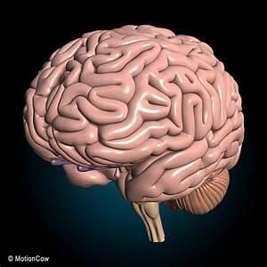 3d human nervous systems brain