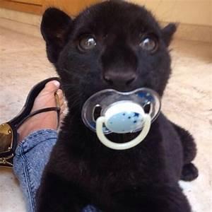 92 best images about Black Jaguar White Tiger Foundation ...