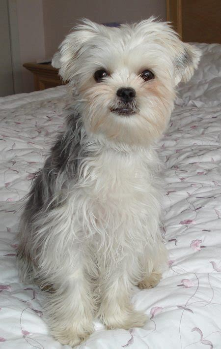 Do Bichon Yorkies Shed by Bichon Frise Poodle Mix Dogs Pictures Photos Pics