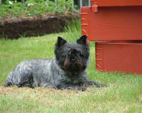 Cairn Terrier Puppies Rescue Pictures Information Temperament Characteristics Animals