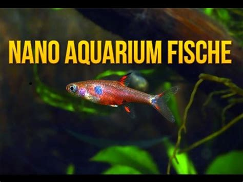 fische kleines aquarium nano aquarium fische 5 geeignete und beliebte fischarten f 252 r kleine aquarien