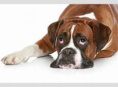 Boxer with apathetic look on a white floor wallpapers and