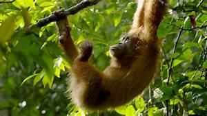 The Last Orangutan Eden   Full Episode   Nature   PBS